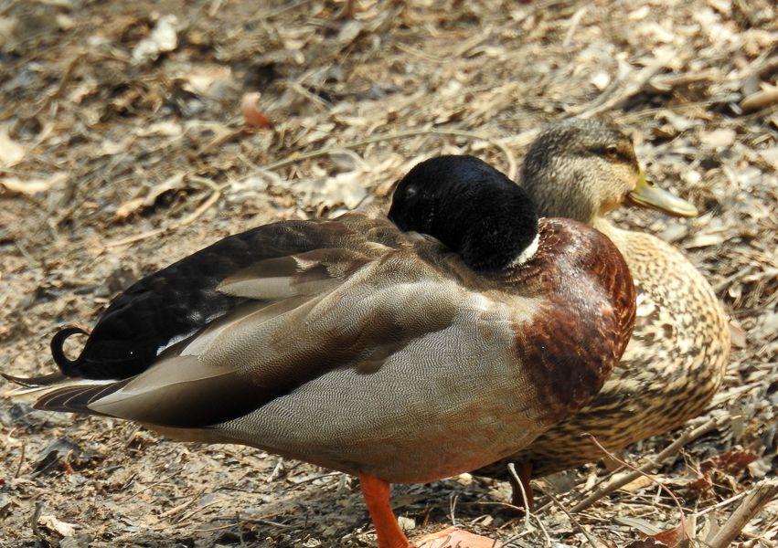 Mallard Pair (Buddy Attick Lake)
