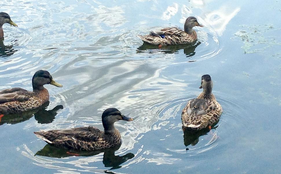 Mallards at Font Hill Wetlands Park (Nancie Waterman)