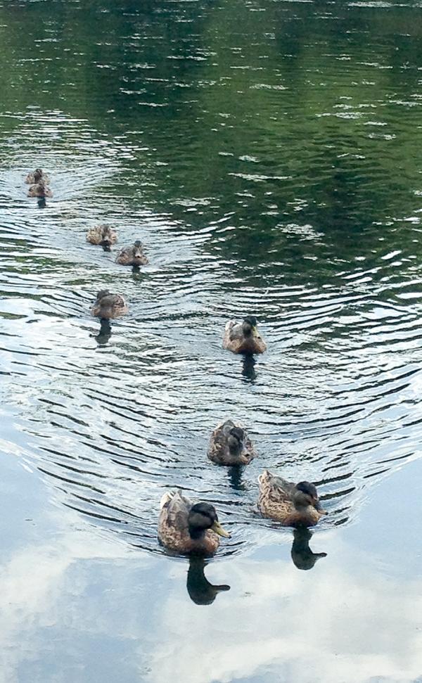 Mallards at Font Hill Wetlands Park