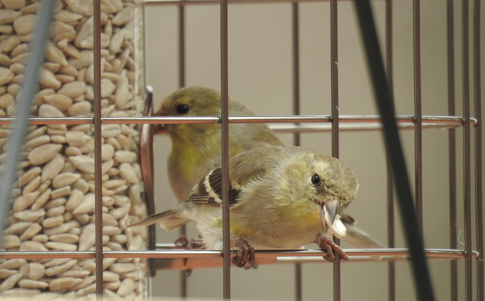 American Goldfinches Eating Sunflower in Woodlink Feeder