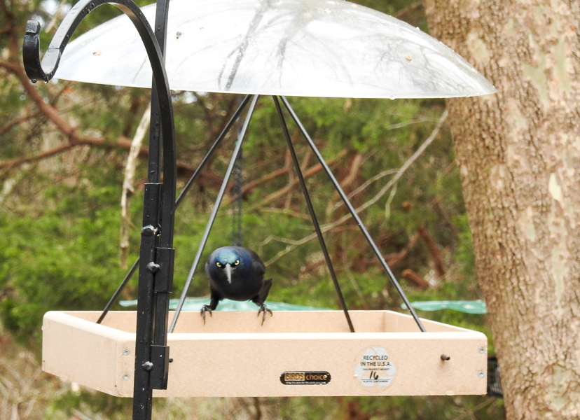 Common Grackle at a hanging platform feeder looking for sunflower seed