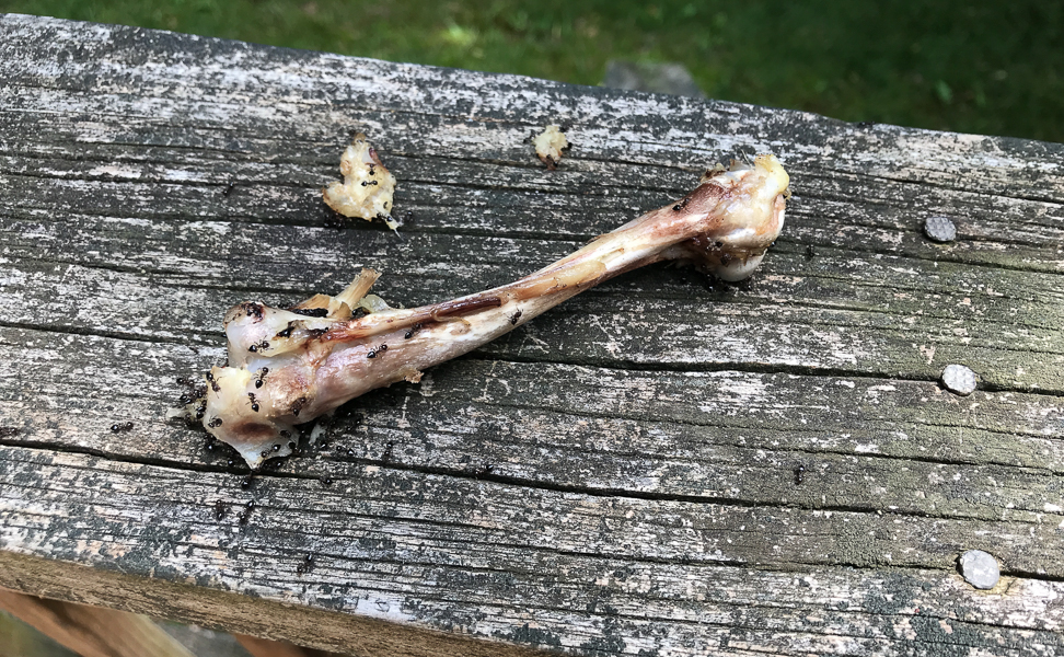 A Chicken Bone Next to the Birdbath
