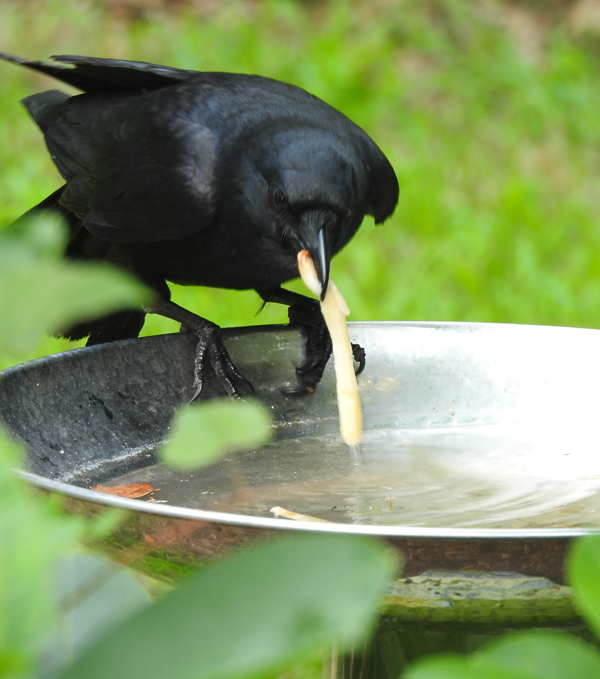 Fish Crow Soaking French Fries in the Birdbath