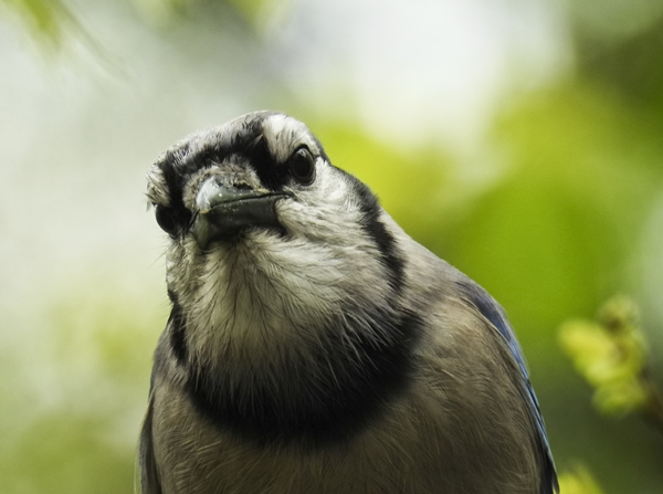 Inquisitive Blue Jay