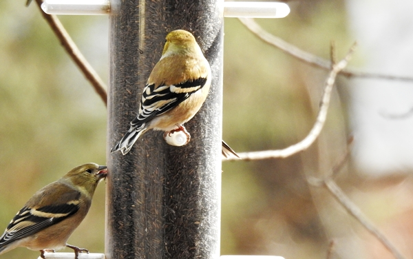 Goldfinches on a Nyjer Feeder