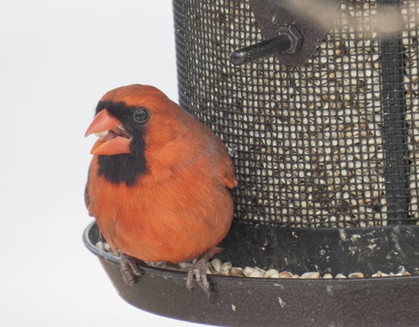 Male Northern Cardinal on Metal Mesh Tube Feeder