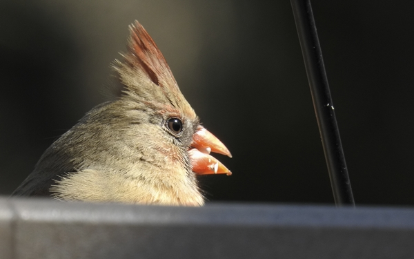 Female Northern Cardinal Eating Safflower