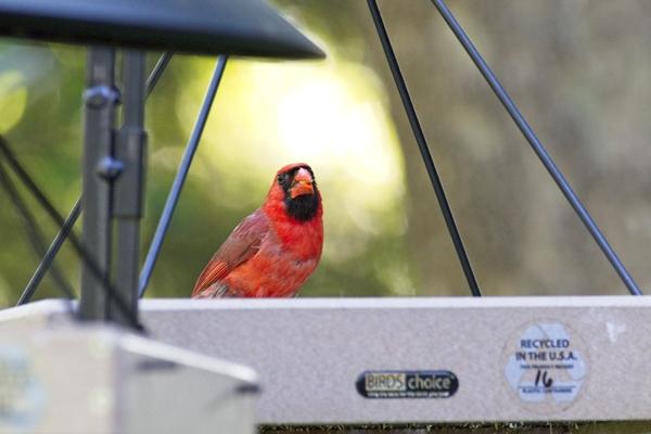 Male Cardinal on a Hanging Platform Feeder