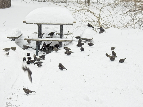 Red-Winged Blackbirds in the Snow