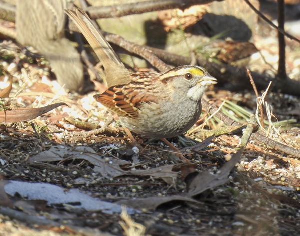 White-Throated Sparrow Eating Seed Off the Ground