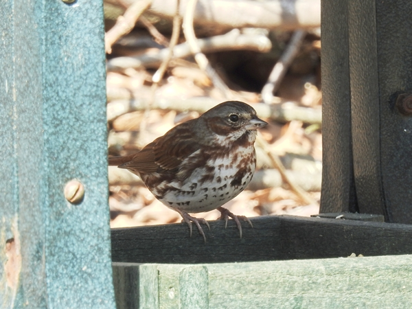 Fox Sparrow at a Ground Platform Feeder