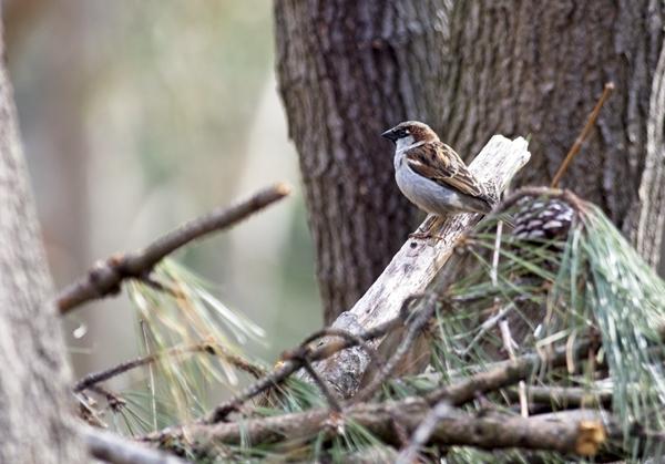 Male House Sparrow on the Brush Pile