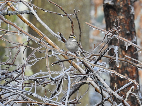 White-Throated Sparrow on Ice-coated Branches