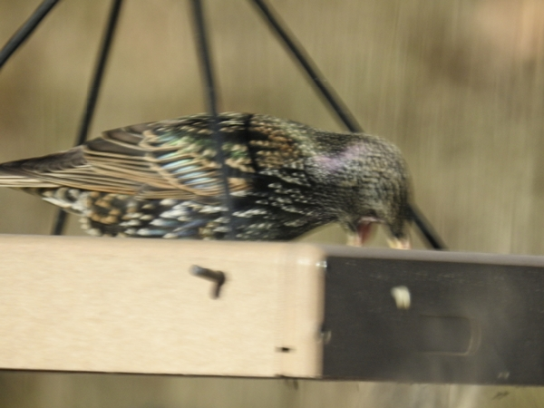 Blurry picture of European Starling with Wide Open Beak