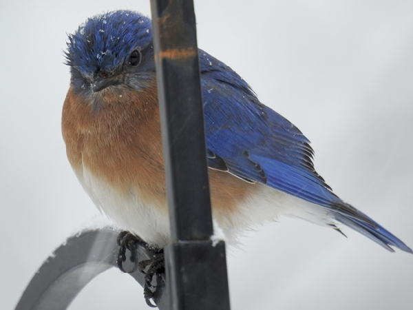 Male Eastern Bluebird in a Snow Storm