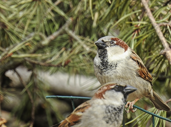 House Sparrows on Brush Pile