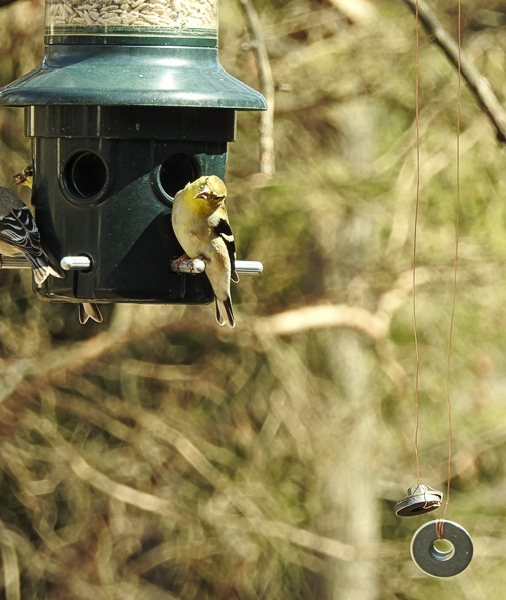 American Goldfinches on the Wired Feeder