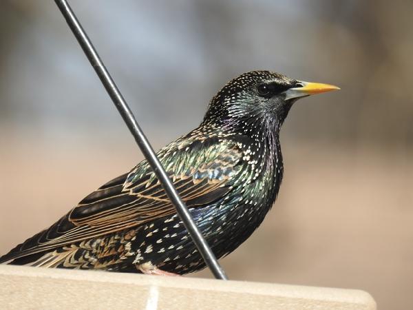 European Starling at Platform Feeder