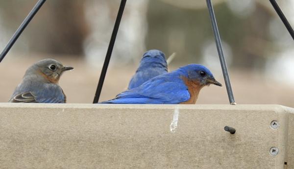 Eastern Bluebirds in Platform Feeder Eating Dried Mealworms