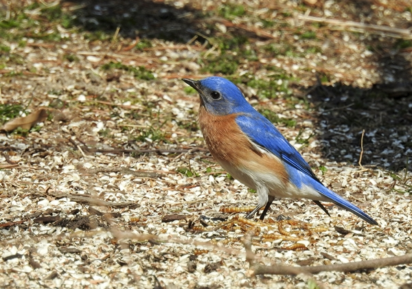 Male Eastern Bluebird Finding Dried Mealworms on the Ground