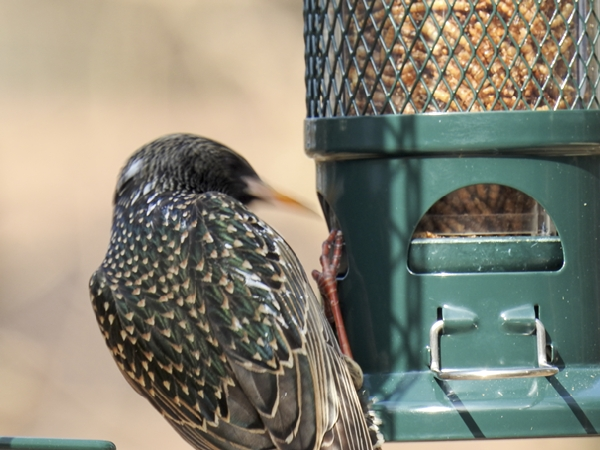 European Starling Working to Get Dried Mealworms