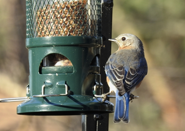 Female Eastern Bluebird Getting Dried Mealworms From Feeder