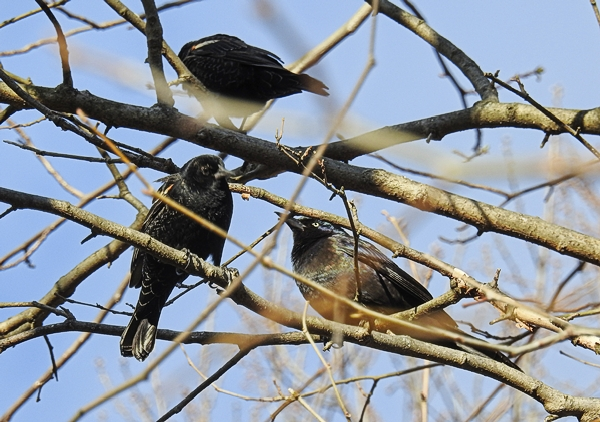 Part of a Flock of Red-Winged Blackbirds and Common Grackle nuisance birds