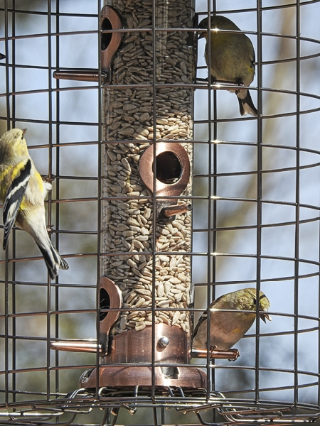 American Goldfinch in a Cage-Style Feeder