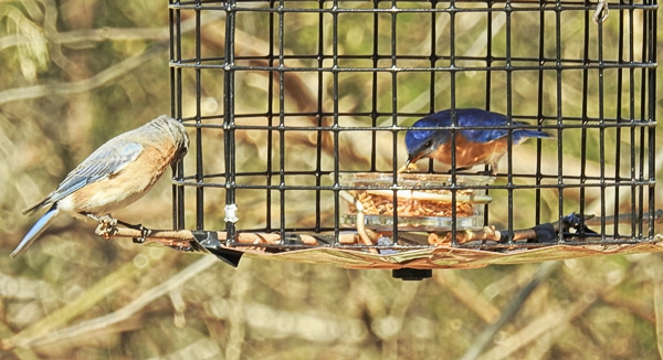 Pair of Eastern Bluebirds on the Feeder - one inside and one outside.