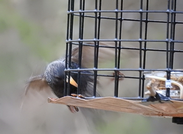 European Starling Trying to Get Into Cage Feeder