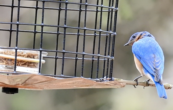 Male Eastern Bluebird on Improvised Perch