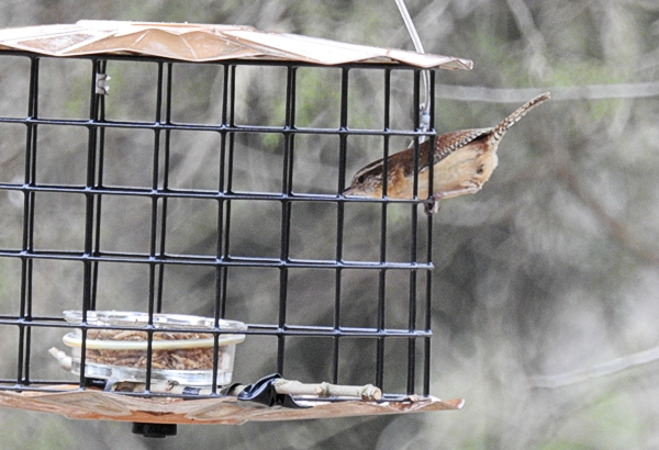 A Carolina wren Pops Right Into the Feeder