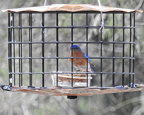 Male Eastern Bluebird Inside Erva Starling Proof Mealworm Feeder