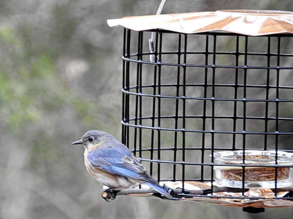 Female Eastern Bluebird sits on feeder's improvised perch contemplating going inside.