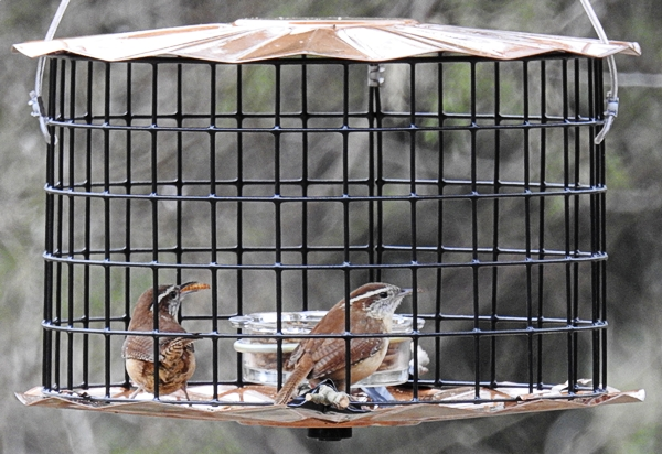 Pair of Carolina Wrens eating mealworms in the feeder