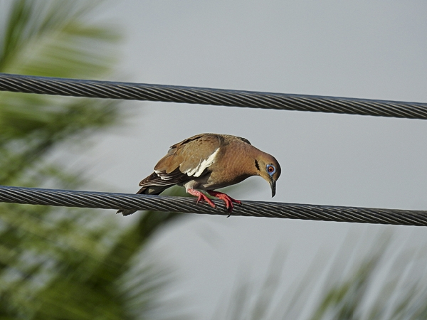White-Winged Dove seen in Merida Mexico