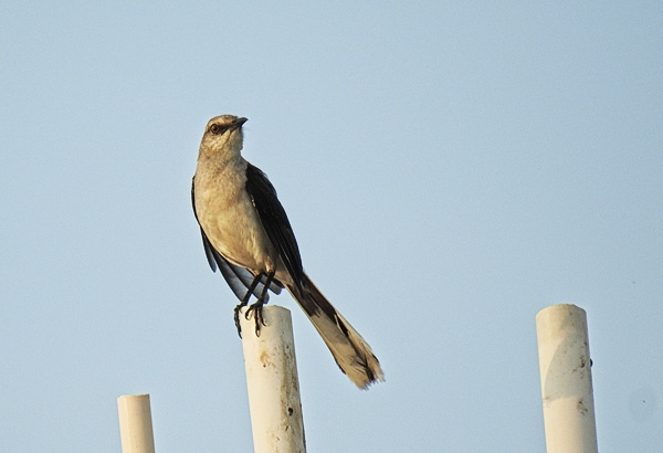Tropical Mockingbird in Merida Mexico