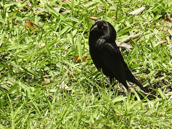 Bronzed Cowbird Puffing Up His Neck Feathers at Tulum Ruins in Tulum Mexico