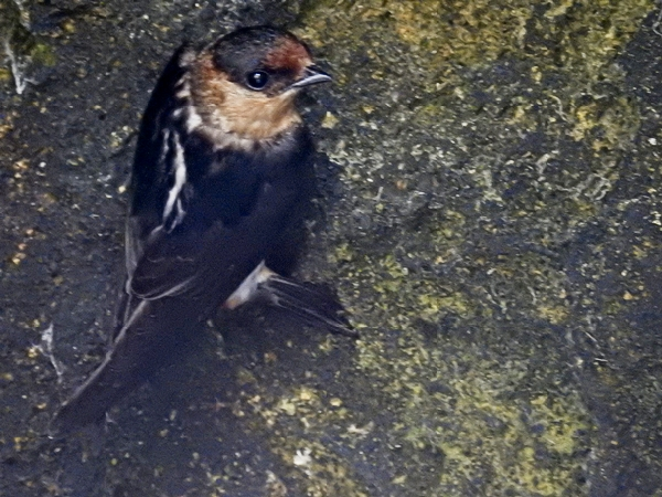 Cave Swallow at Gran Cenote in Tulum Mexico