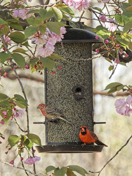 House Finch and Northern Cardinal on Metal Mesh Feeder