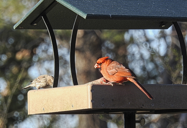 Northern Cardinal and House Finches Sharing a Platform Feeder