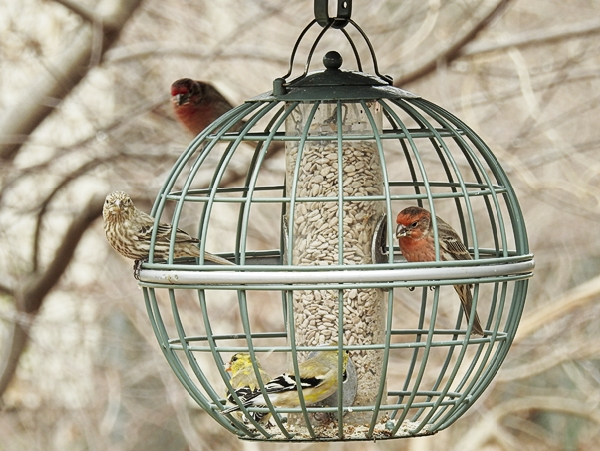 House Finches and American Goldfinches Share a Globe Feeder