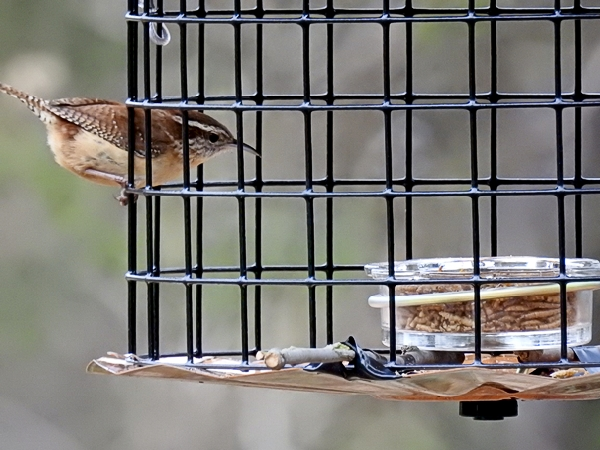 Carolina Wren Heading In For Mealworms