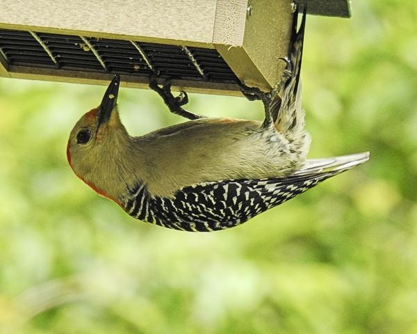 Red-Bellied Woodpecker on Upside-Down Suet Feeder
