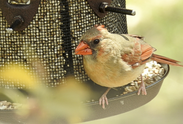 Northern Cardinal Eating Nutra-Saff
