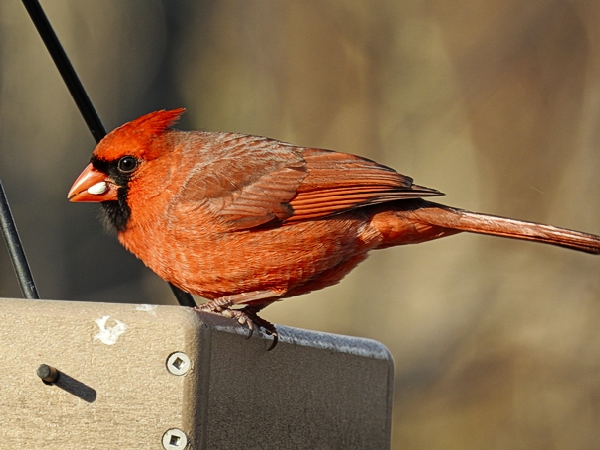Northern Cardinal Eating Regular Safflower Seed