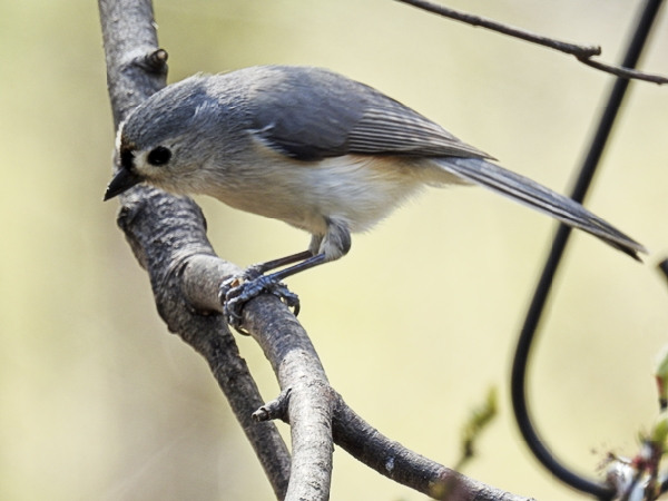 Tufted Titmouse Working on a Nutra-Saff Seed