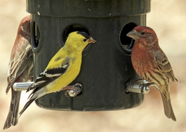 House Finches and an American Goldfinch Consider the Nutra-Saff