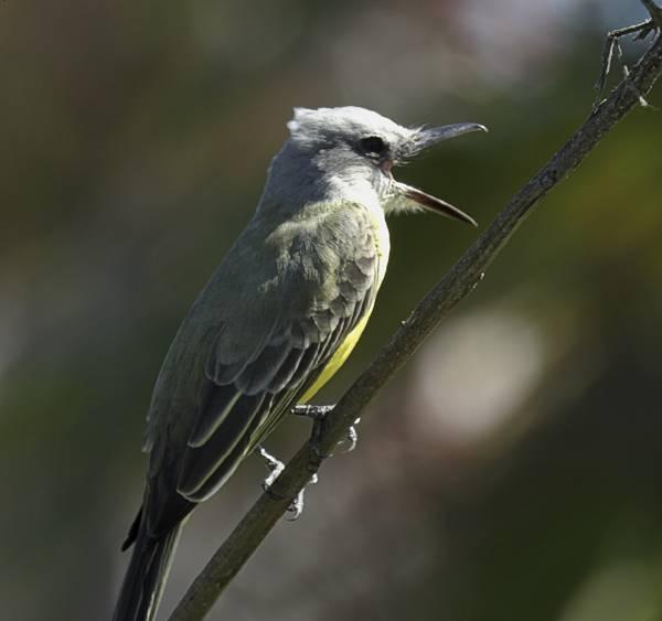 Tropical Kingbird seen at Tulum Ruins in Mexico