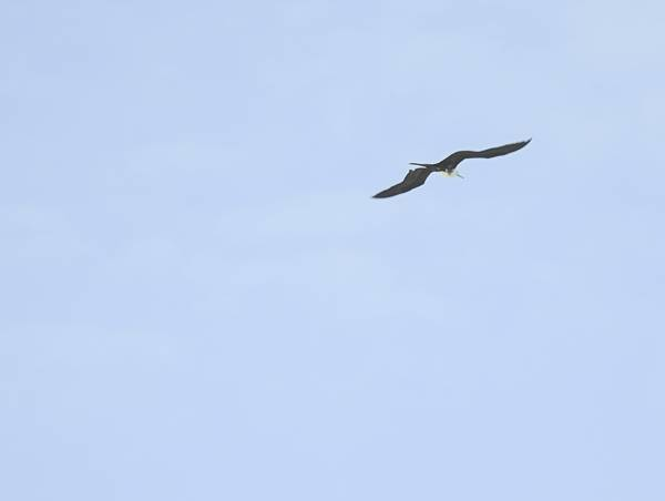 Magnificent Frigatebird seen at beach in Progresso Mexico